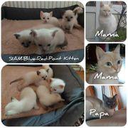 5 süße Siam-Kitten Blue x