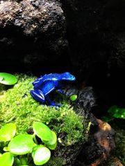 2 Blauer Baumsteiger (