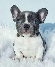 Französische bulldogge welpen bn