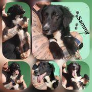 Wunderschöner Rüde Sammy 6 Monate