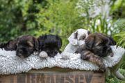 Tibet-Terrier Welpen