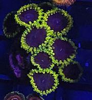 Zoa Tantrum Meerwasser Koralle