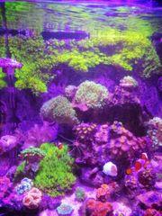 Schönes affenhaar briareum lps korallen