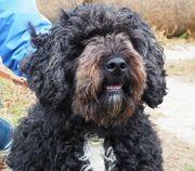 MAXIK Spanischer Wasserhund Mischling - gibt
