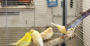 40 Kanarienvögel von 2021