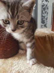 BKH Kitten Black Silver Classic