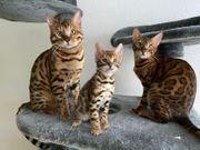 Traumhafte reinrassige Bengal Kitten