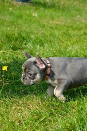 Französische Bulldoggen Welpen