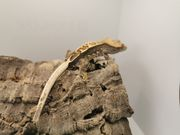 Kronengecko Correlophus ciliatus