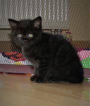 BKh kitten LADY