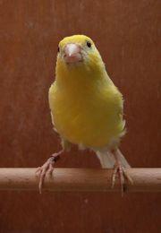 Kanarienvogel Harzer Roller Hahn