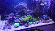 Meerwasser Ableger Korallen