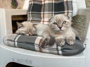 süße BKH Kätzchen beide für