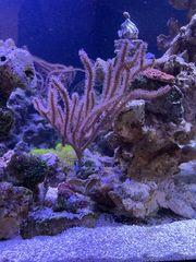Gorgonien Ableger Meerwasser Salzwasser