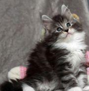 Maine coon süße Kitten mit