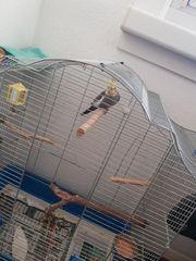 nymphensittich Vögel