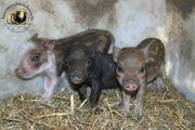 Minischweine aus geprüfter Zucht