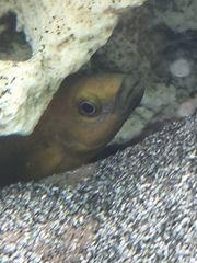 Pärchen Tanganjika Neolamprologus leleupi