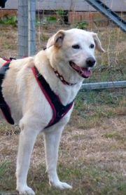 Rona - Labrador -Mix lieb und