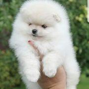 Pomeranian zwergspitz welpen BOO