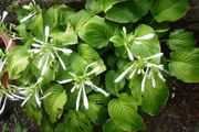Funkie Hosta grün mit weißen
