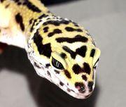 Leopardgecko männlich Zeta