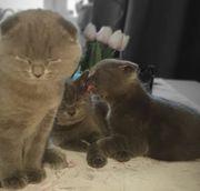 BKH Scottish Fold Kätzchen suchen