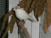 1 Kanarienvogel Kanarie männlich weiß