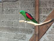 Suche Rotflügelsittich-Henne