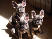 Französische Bulldogge Welpen verschiedene Farben