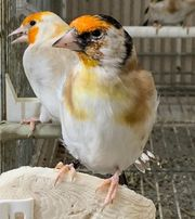 Major Vögel