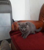 Bkh Scottish fold Kitte