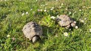 2 griechische Landschildkröten Frankfurt a