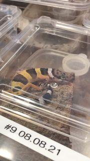 junge Leopardgeckos aus eigener Nachzucht