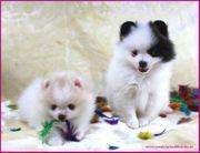 Teacup Pomeranianwelpen gescheckt