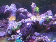 Meerwasser Riffäste mit Korallen