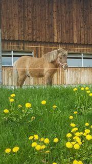 Pony Hengst zu verkaufen