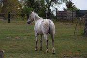 Appi Quarter Horse Stute