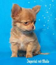 hochtypvoller sehr kleiner Langhaar Chihuahua