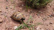 Griechische Landschildkröten THH Sizilien Ragusa