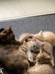 BKH Kitten suchen Kuschelpersonal