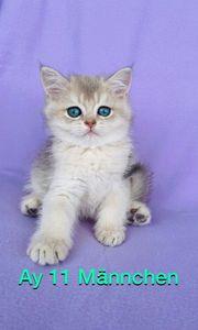 wunderschöne reinrassige BKH Kitten mit