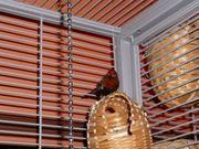 Prachtfinken 1 Paar Tigerfinken