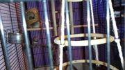 zebrafinken dringend zu verkaufen