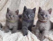 British Kurzhaar Kätzchen
