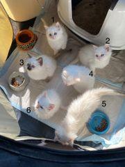 Zuckersüße Ragdoll Kitten Babys ca