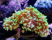 Meerwasser Koralle Euphyllia paraancora