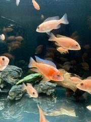 Malawi Buntbarsche Aulonocara Firefish