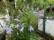 Agapanthus Schmucklilie