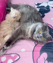 wundervolle Katzen Babys abzugeben